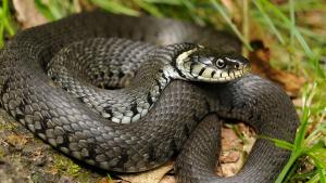 """Illustration de la catégorie """"Serpent"""""""