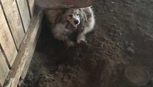 Nouveau départ pour ce chien au poil si long et sale qu'il pouvait à peine se déplacer (Vidéo)