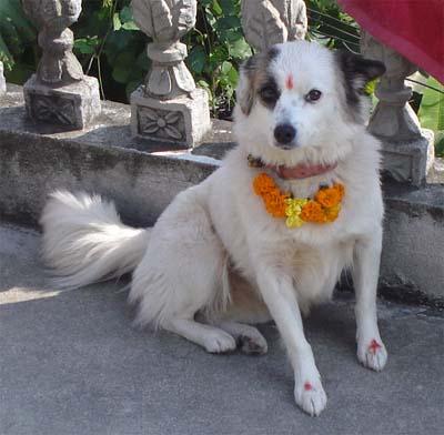 Au Népal, un festival religieux célèbre l'existence des chiens