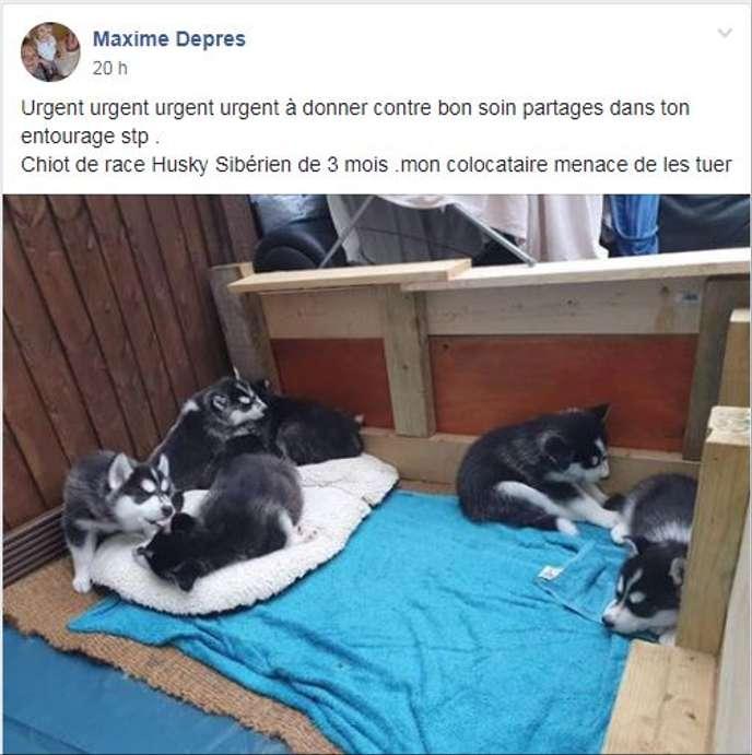 Facebook Une Arnaque Aux Bebes Huskies Emerge