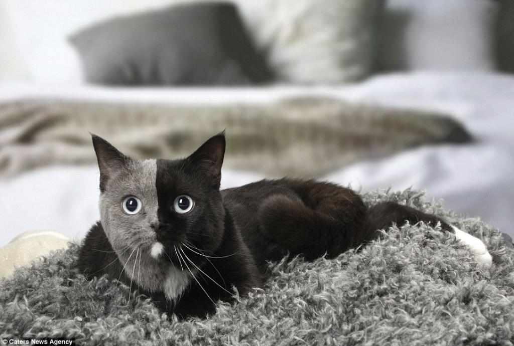 chat chimere deux faces