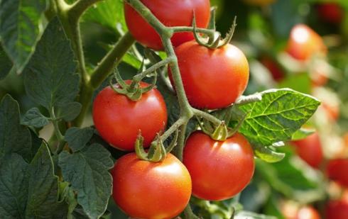 """Illustration : """"Peut-on donner de la tomate à manger à son chat ? """""""