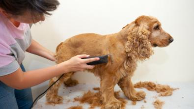 Photo : Meilleure tondeuse pour chien