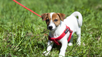 Photo : Meilleur harnais pour chien