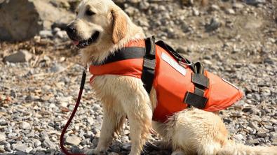 Photo : Meilleur gilet de sauvetage pour chien