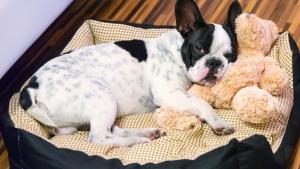 Illustration : Choisir un chien d'appartement