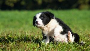 Illustration : Choisir un petit chien