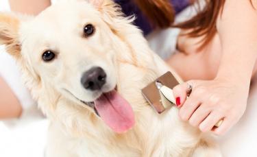 """Illustration : """"Le traitement des puces chez le chien"""""""