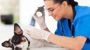 Illustration : Les principaux soins d'urgence en cas d'accident d'un chien