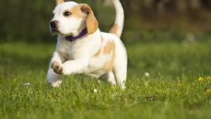 Illustration : Pourquoi mon chien fugue-t-il ?