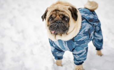 "Illustration : ""Peut-on habiller son chien ?"""
