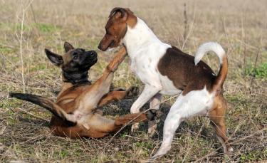 """Illustration : """"Comment gérer une bagarre entre chiens ?"""""""