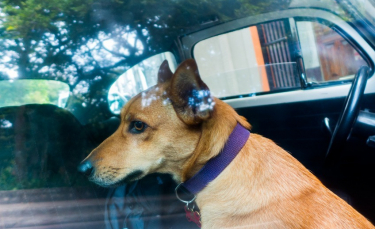 """Illustration : """"Voyager avec son chien en voiture"""""""