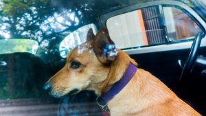 Illustration : Voyager avec son chien en voiture