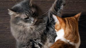 Illustration : Les conflits entre chats