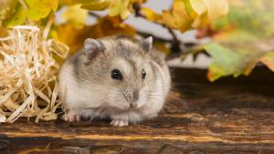 Illustration : Quel hamster choisir ?