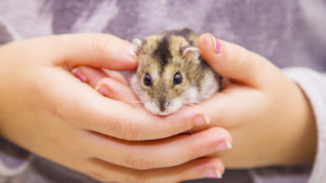 Illustration : Comment apprivoiser un hamster ?
