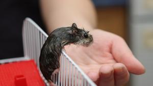 Illustration : Les maladies courantes du hamster