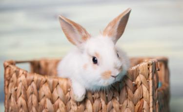 "Illustration : ""Quel lapin choisir ?"""
