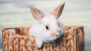 Illustration : Quel lapin choisir ?