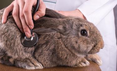 "Illustration : ""Les maladies courantes du lapin"""