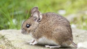 Illustration : Comment apprivoiser une souris ?