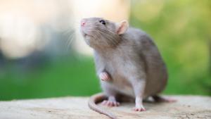Illustration : Quel rat choisir ?