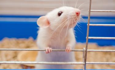 """Illustration : """"Choisir une cage pour son rat"""""""