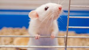 Illustration : Choisir une cage pour son rat