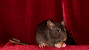 Illustration : Nourrir un rat