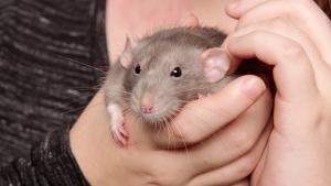 Illustration : Comment apprivoiser un rat ?