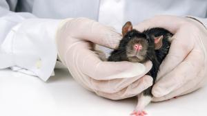 Illustration : Les maladies courantes chez le rat