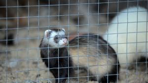 Illustration : Choisir une cage pour son furet