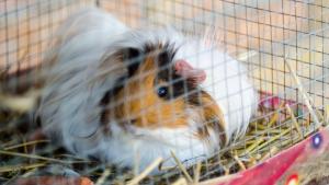 Illustration : Choisir une cage pour son cochon d'Inde