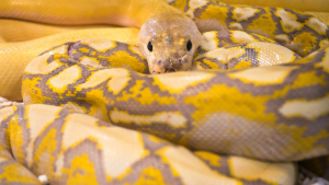 Illustration : Nourrir un serpent