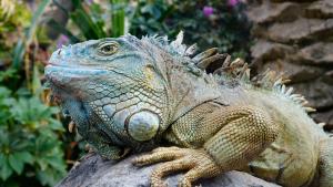 Illustration : Les maladies courantes de votre iguane