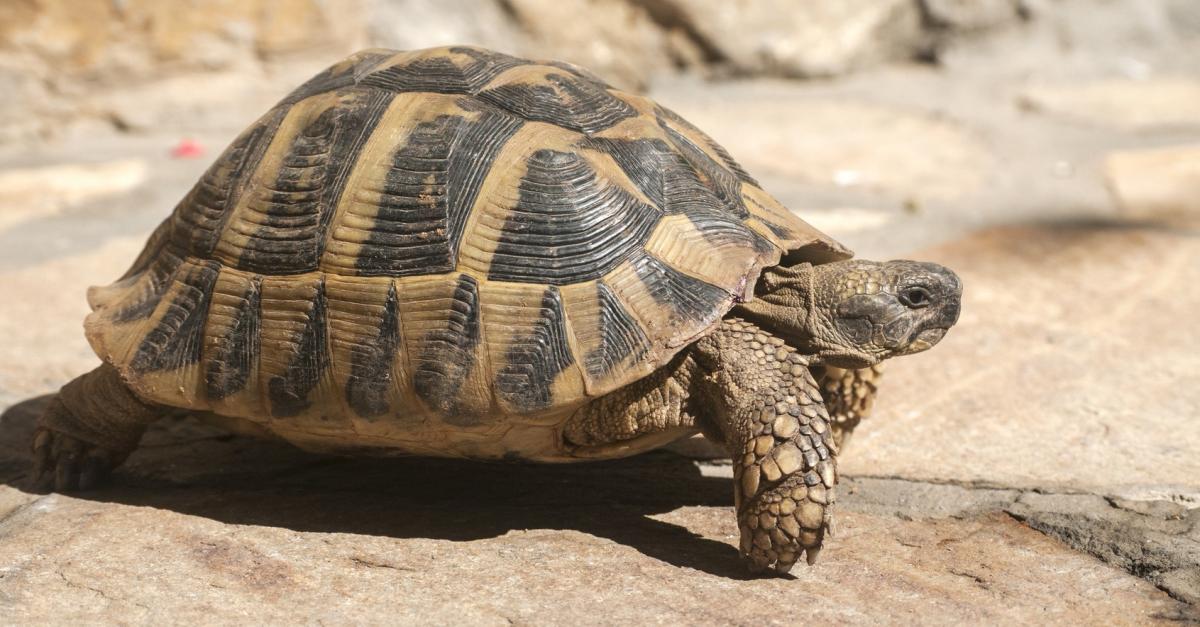 choisir une tortue   nos conseils pour l u0026 39 adoption