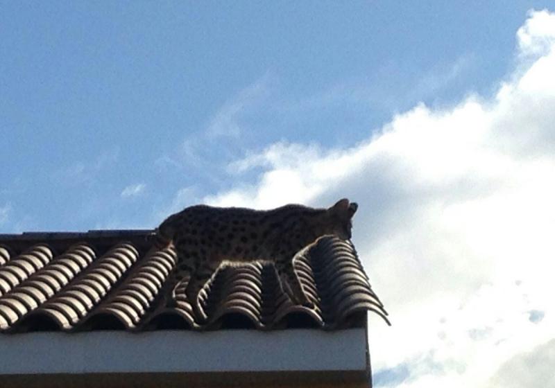 """Illustration : """"Un habitant confond un chat avec un léopard et appelle les gendarmes !"""""""