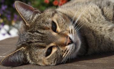 """Illustration : """"Le langage corporel du chat"""""""