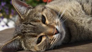 Illustration : Le langage corporel du chat