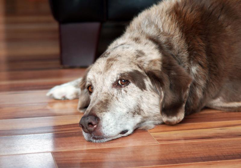 """Illustration : """"Le traitement du cancer chez le chien"""""""