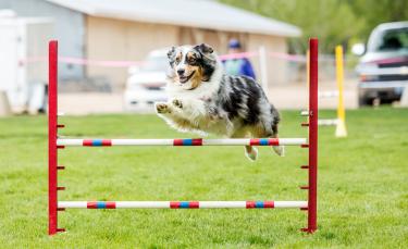 "Illustration : ""Les sports canins"""