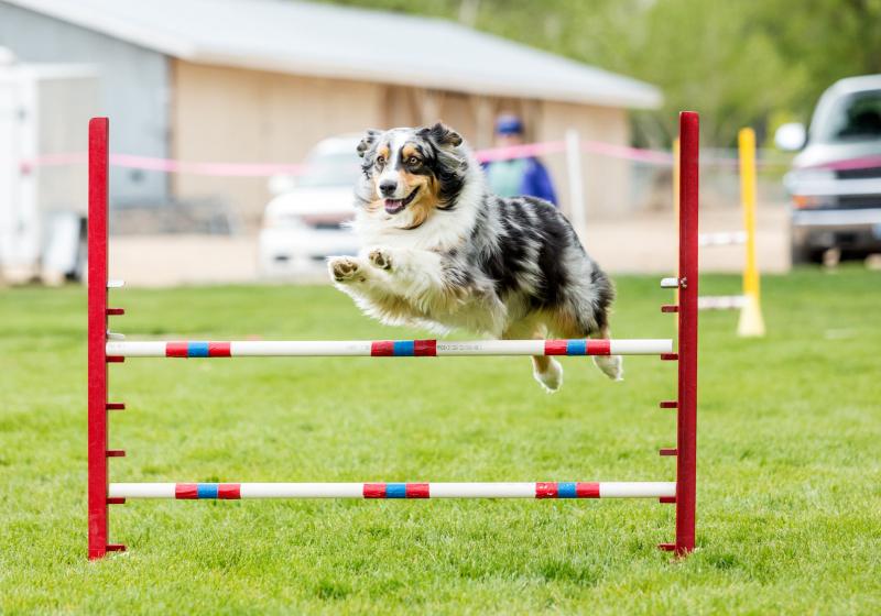 """Illustration : """"Les différents types de sports canins"""""""