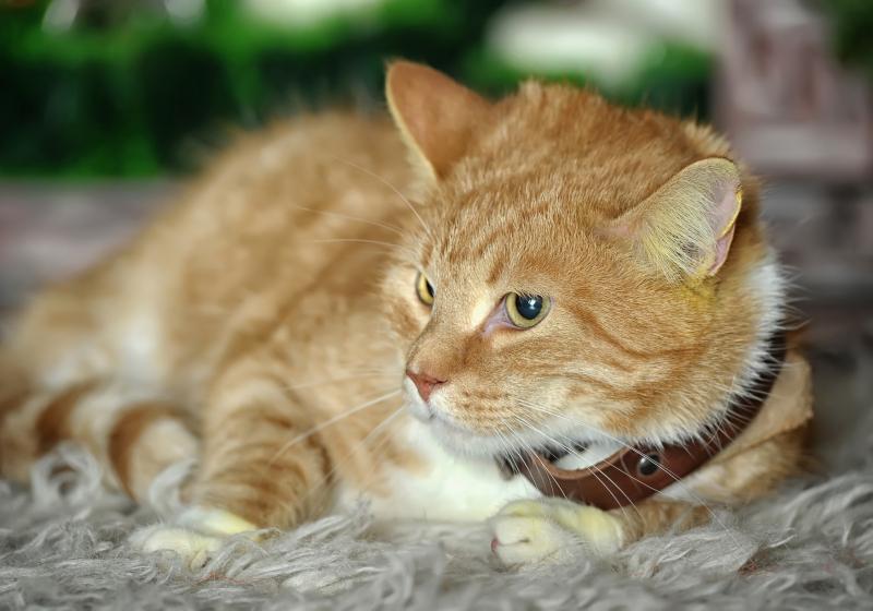 """Illustration : """"Choisir un collier pour son chat"""""""