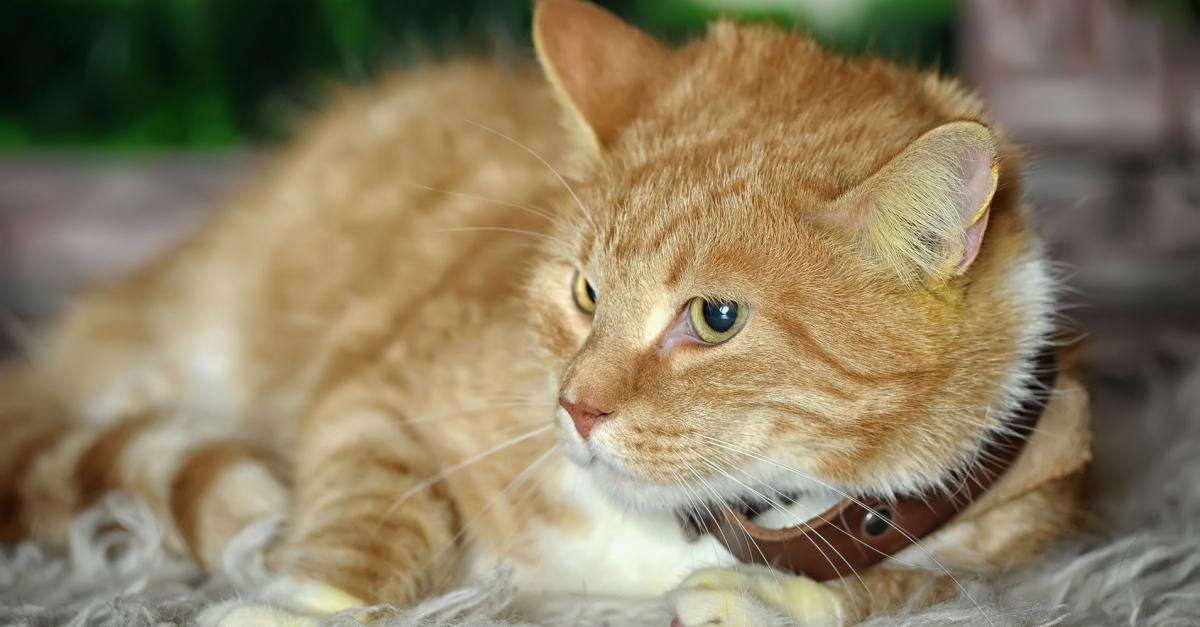 collier chat qui sort