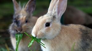 Illustration : Que mange un lapin ?