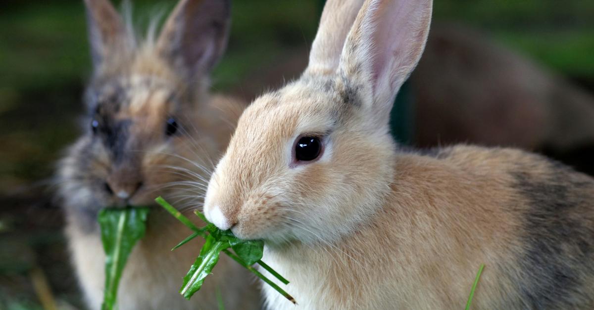 L 39 alimentation chez le lapin ce qu 39 il peut manger - Photo de lapin a imprimer ...