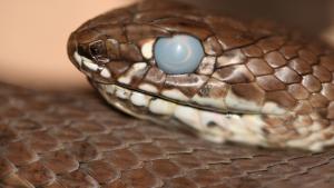 Illustration : La mue chez le serpent