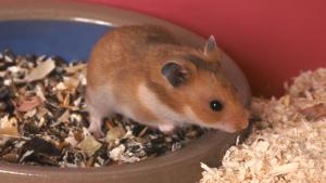Illustration : Choisir une litière pour son hamster