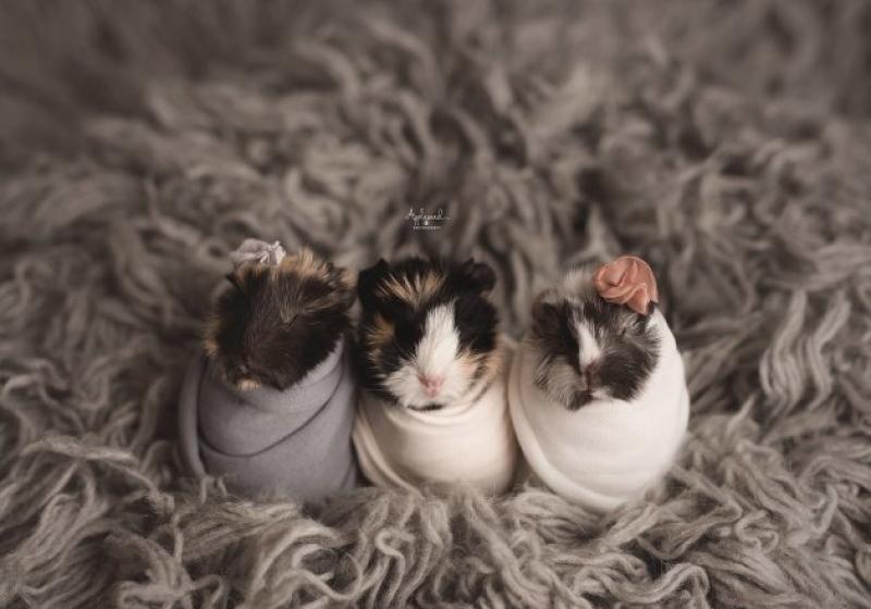 """Illustration : """"Elle photographie 3 magnifiques bébés cochons d'Inde et ses clichés font le tour du monde !"""""""